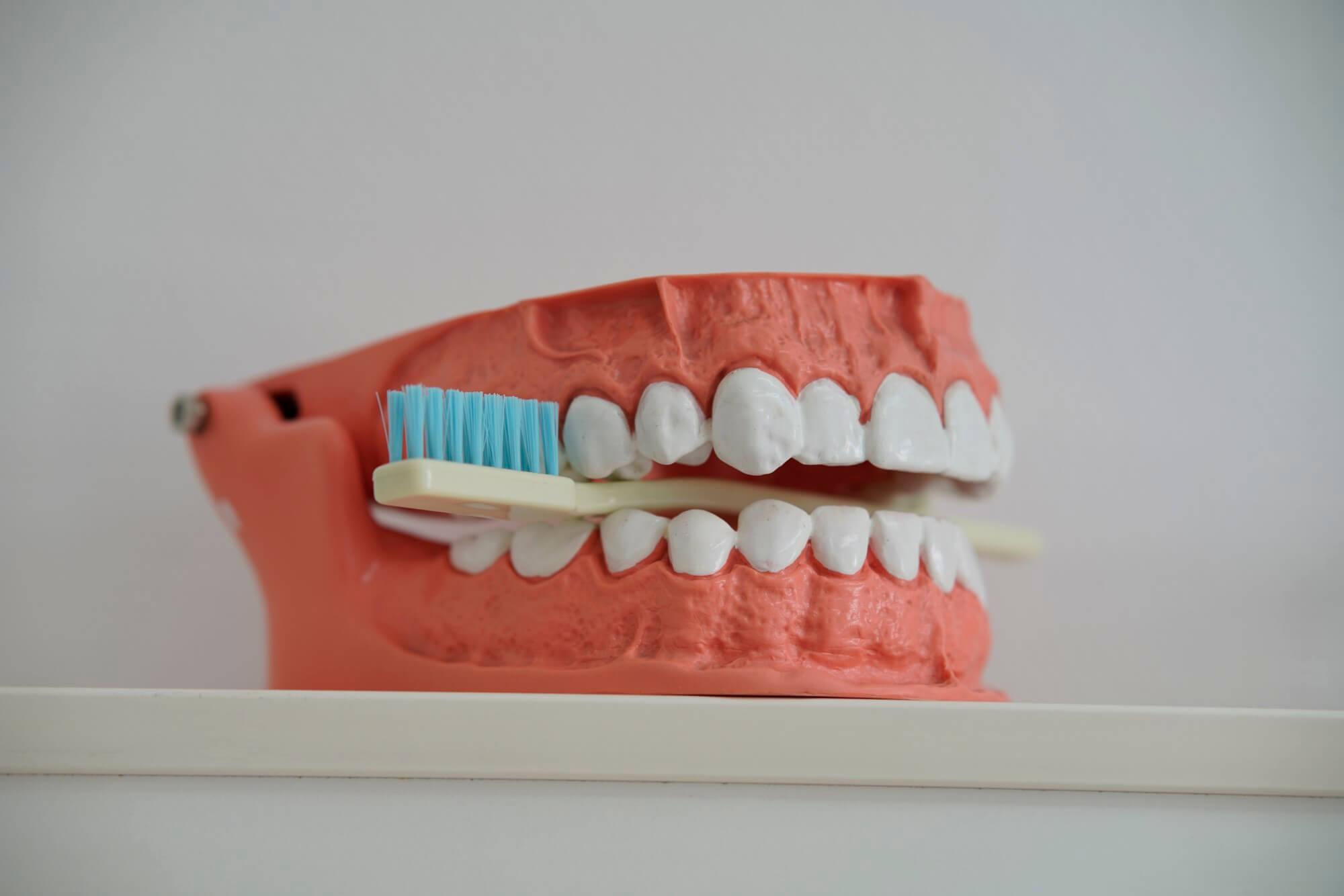 Zahnmodell und Zahnbürste
